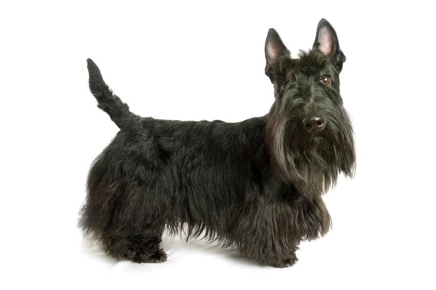 Pies rasy terier szkocki na białym tle, a także inne miniaturowe rasy psów