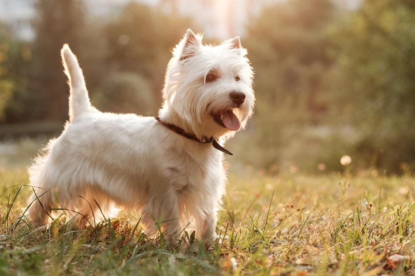 Pies rasy West hihhland white terier, a także inne miniaturowe rasy psów