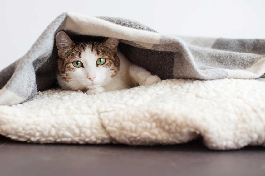 Chory kot leżący pod kocem, a także co oznacza kichanie u kota, leczenie, przyczyny, zapobieganie