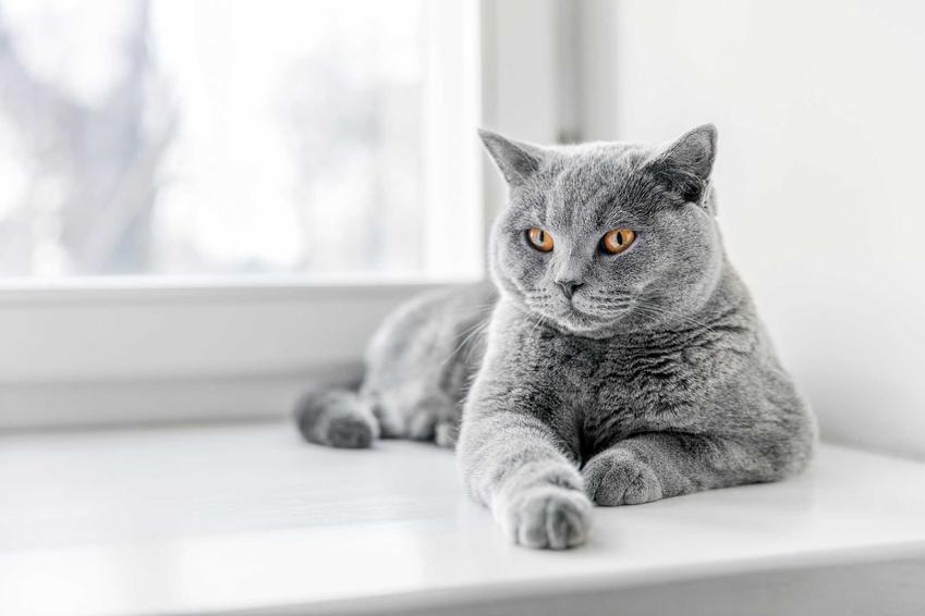 Kot leżący na parapecie, który kichał, a także co oznacza kichanie u kota krok po kroku, leczenie i przyczyny