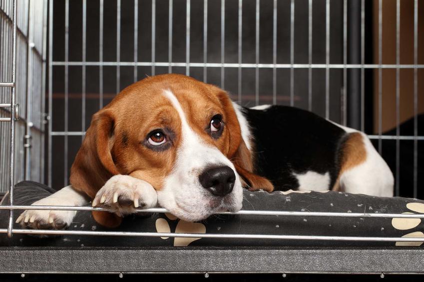 Beagle w klatce kennelowej dla psa, a także zastosowanie klatek dla psa, ceny oraz porady dotyczące samodzielnego wykonania