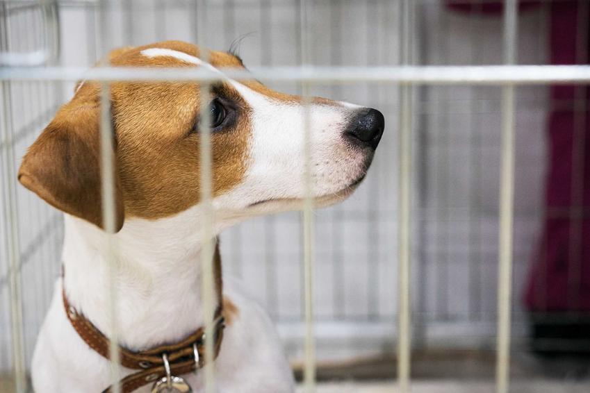 Jack Russel Terrier w klatce kennelowej, a także informacje o klatkach dla psa: zastosowanie, rodzaje oraz ceny