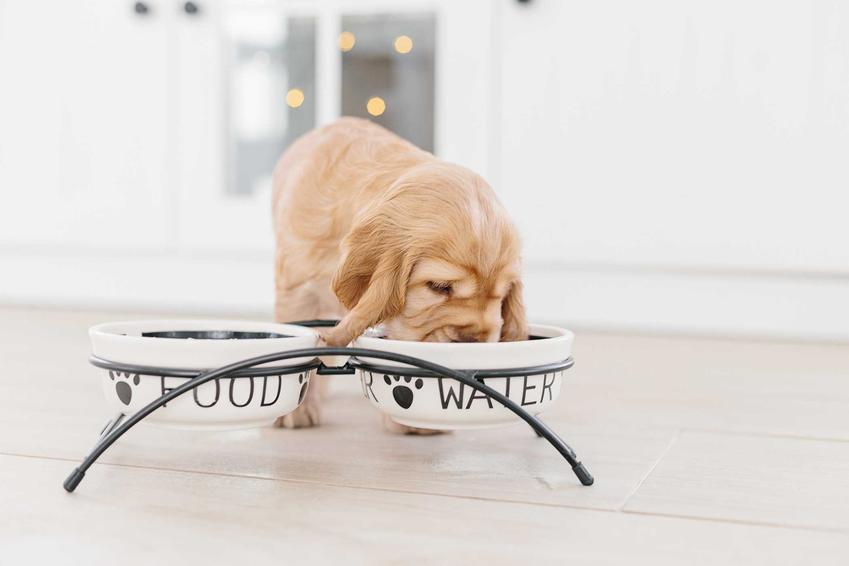 Szczeniaczek jedzący z miski dla psa na podwyższeniu, a także najlepsze miski dla psów krok po kroku, zastosowanie oraz rodzaje