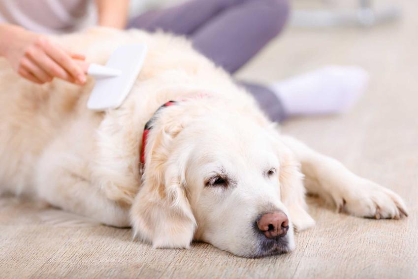 Lablador czesany szczotką dla psa, a także modele szczotek, ceny oraz opinie użytkowników dotyczące różnych szczotek