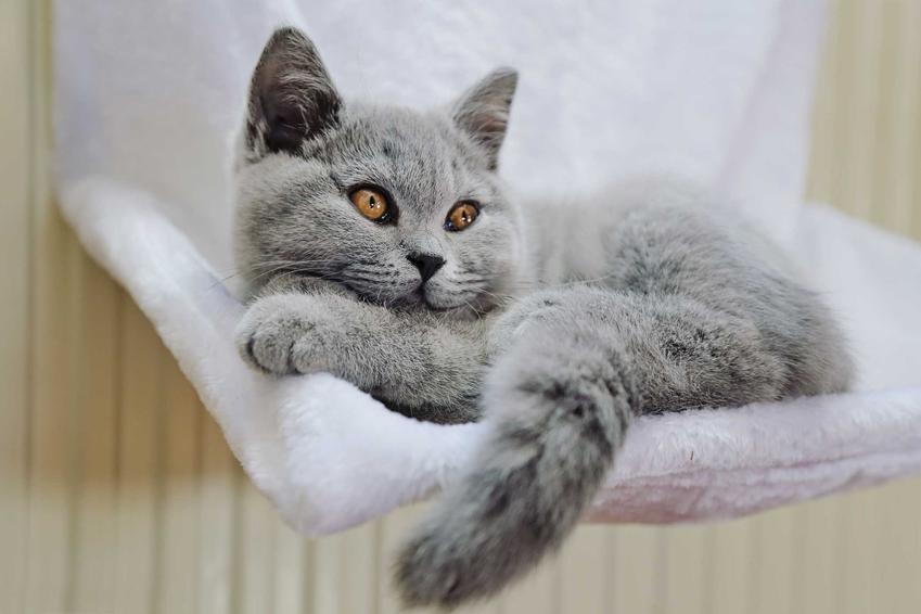 Legowisko dla kota na kaloryfer i leżący na nim kot brytyjski, a także najlepsze legowiska dla kotów, ceny, zastosowanie i opinie