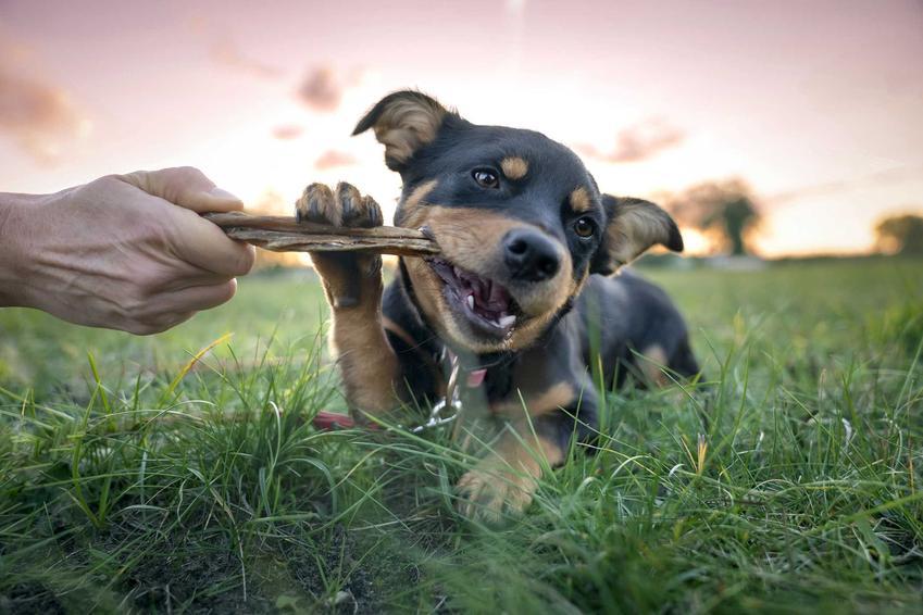 Pies gryzący gryzak dla psów, a także inne zabawki dla psów, najlepsze gadżety, modele i producenci