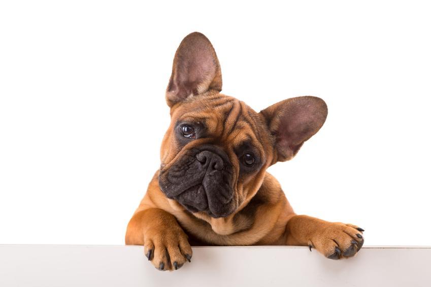 Pies rasy buldog francuski oparty łapkami o stół, a także jego charakter