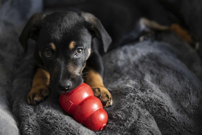 Pies gryzący Kong, czyli zabawkę edukacyjną, do której wkłada się jedzenie, a także inne zabawy i gry dla psów