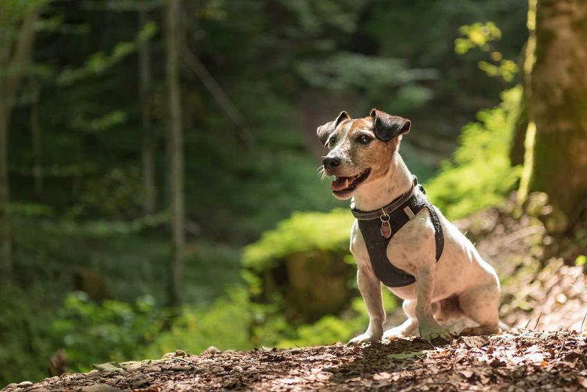 Puszorek na niewielkim psie w lesie, a także zastosowanie, ceny, rodzaje, opinie oraz zalety puszorków