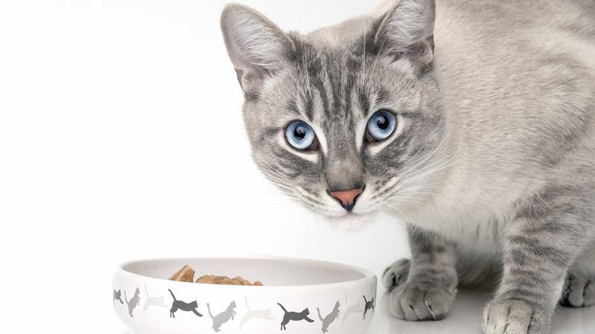 Kot o szarej sierści przy misce pełnej karmy dla kotów, a także polecane produkty, zastosowanie, smaki i rodzaje karmy