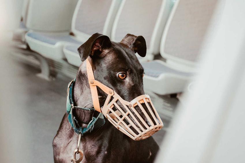 Jasny kaganiec na niedużym psie, a także rodzaje, producenci, ceny oraz opinie dotyczące kagańców dla psa