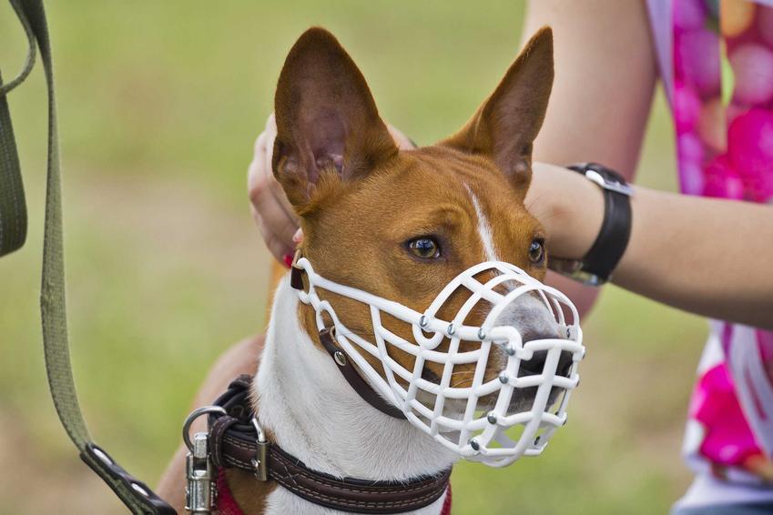 Średniej wielkości pies z białym kagańcem na pyszczku, a także producenci, rodzaje, ceny, opinie użytkowników o kagańcach