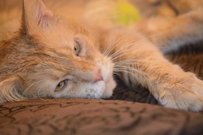 Chory na FIV kot leżący na dywanie, a także FIV u kota, rozpoznanie, objawy, leczenie oraz rokowania przy leczeniu