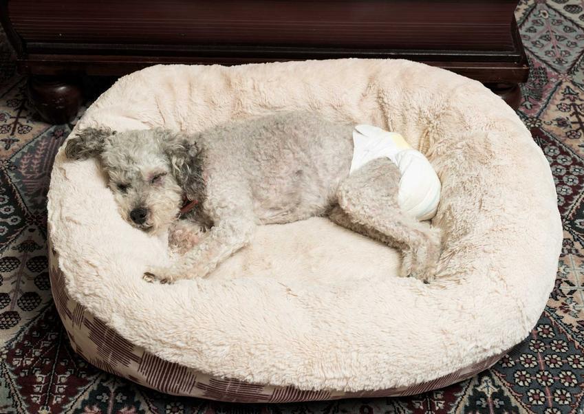 Pies w pampersie dla psów leżący na posłaniu, a także informacje o pampersach dla psów - producenci, ceny, rodzaje, zastosowanie