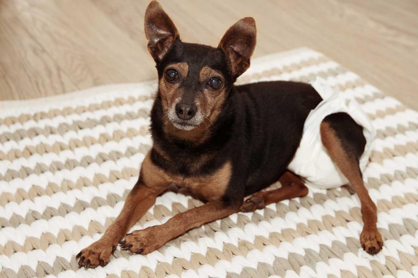Pies leżący na dywanie w pampersie dla psów, a także informacje, producenci, ceny, zastosowanie i rodzaje producentów