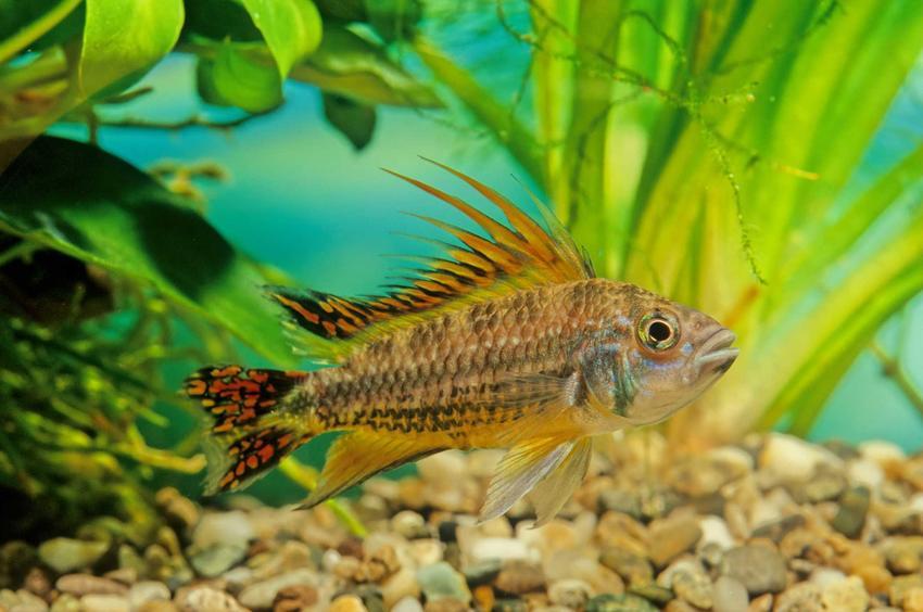 Pielęgniczka kakadu pływająca w akwarium, a także jej rozmnażanie, porady, pielęgnacja, wymagania i informacje o gatunku