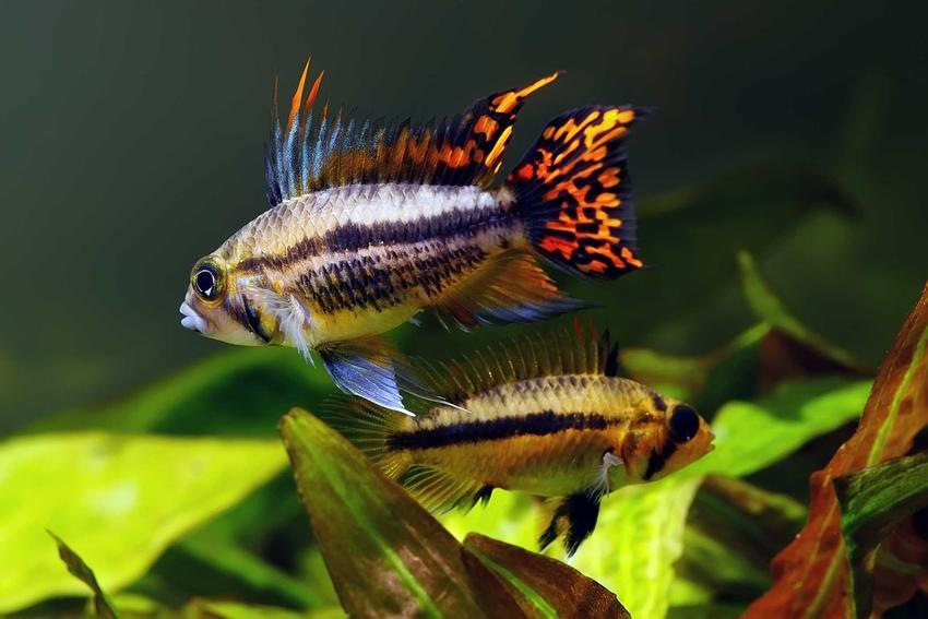 Pielęgniczka kakadu o ciekawych płetwach w akwarium, a także informacje o rybie, jej rozmnażanie, porady i wymagania