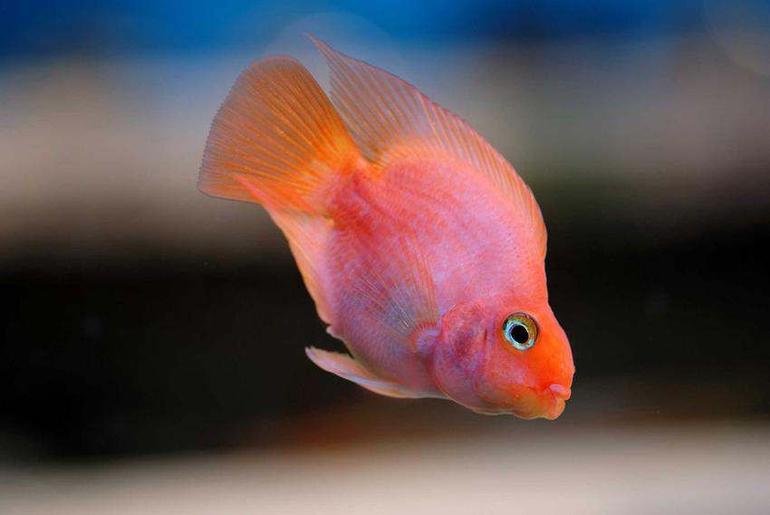 Pielęgnica papuzia w różowo-pomarańczowym kolorze pływająca w akwarium, a także pielęgnacja ryby, usposobienie, charakter, opis