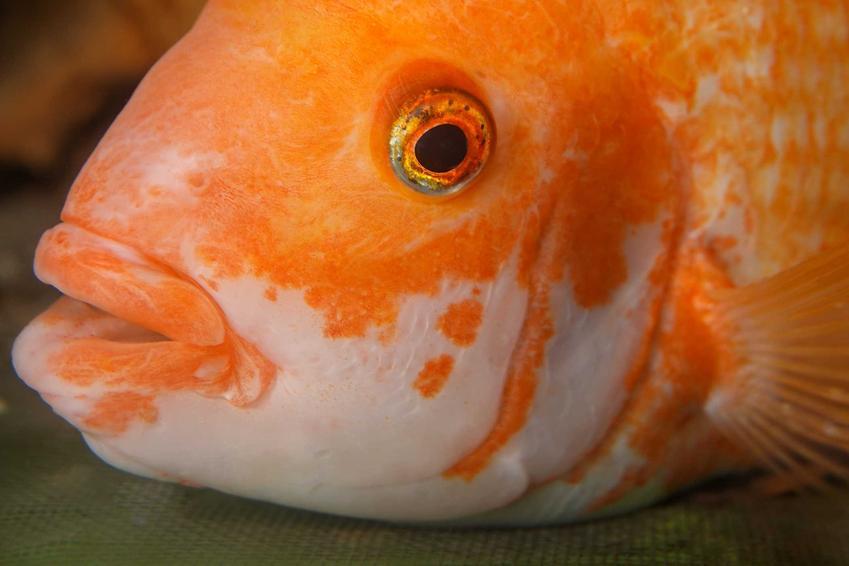 Papuzica papuzia o złotych łuskach pływająca w akwarium, a także usposobienie ryby, pielęgnacja, opis wyglądu i przeciwdziałanie możliwym chorobom