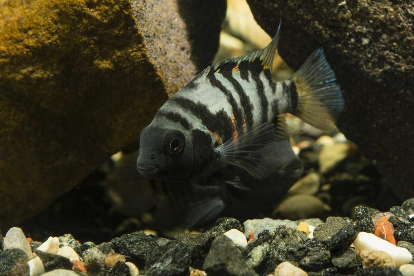 Pielęgnica zebra w czarne paski pływająca w akwarium, a także usposobienie, wymagania i porady dotyczące pielęgnacji w akwarium
