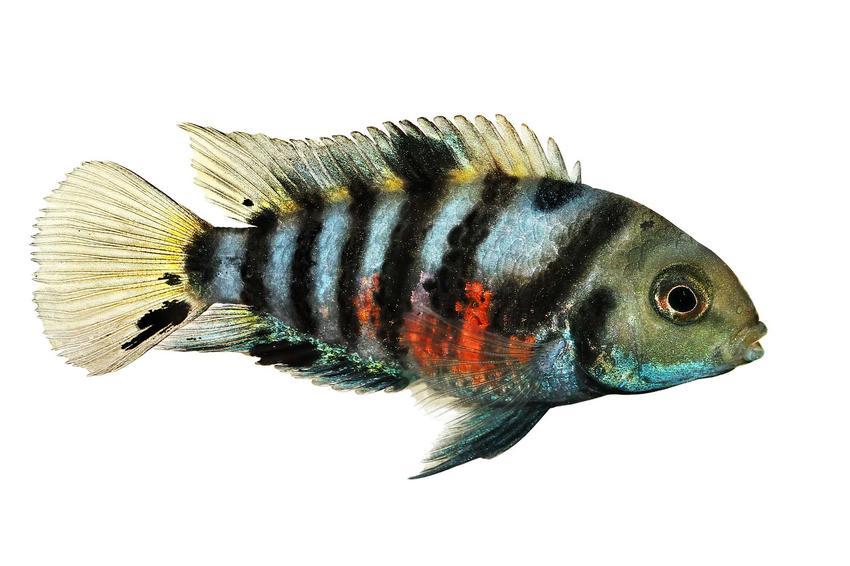 Ryba papuzica zebra w czarne paski, a także usposobienie, charakterystyka, wymagania pielęgnacyjne, porady, charakter