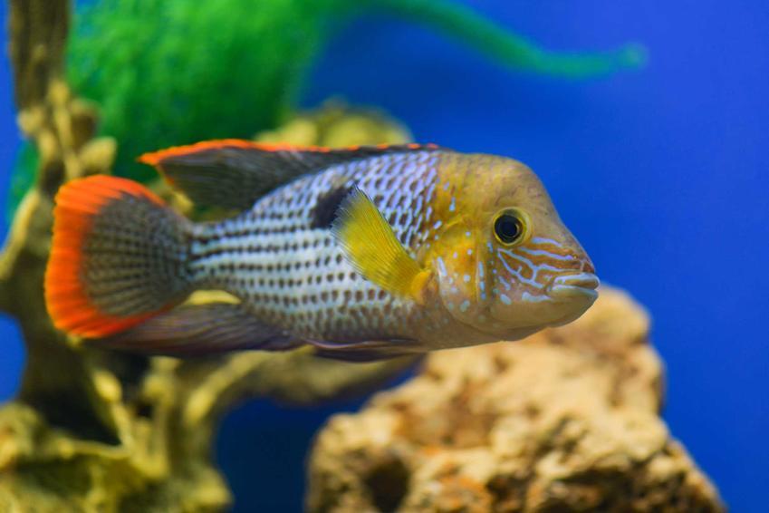 Akara pomarańczowopłetwa o pomarańczowej płetwie i biało-czarnym ciele w dużym akwarium, a także opis ryby, jej usposobienie, sposób żywienia i rozmnażanie