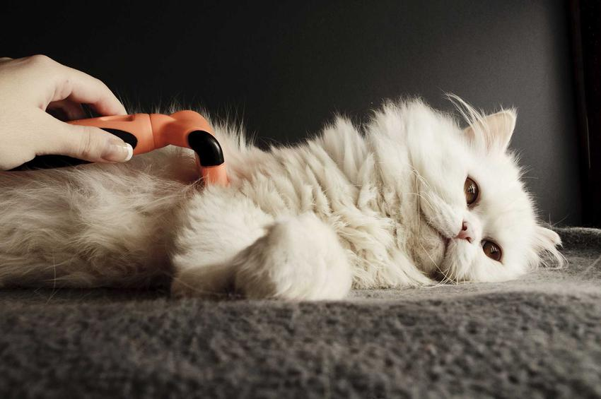 Kot czesany furminatorem, a także informacje, co to jest furminator, zastosowanie, porady, wyjaśnienia, przygotowanie