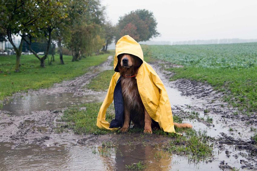 Pies siedzący w kałuży ubrany w płaszcz przeciwdeszczowy dla psów, a także rodzaje, ceny oraz opinie o płaszczach dla psów