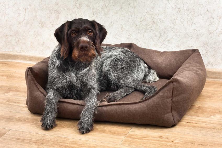 Pies leżący w legowisku ortopedycznym dla psa, a także ceny, rodzaje legowisk, zastosowanie oraz porady