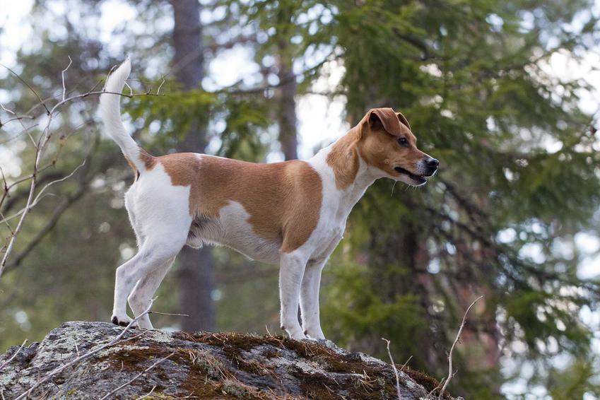 Pies rasy duńsko-szwedzki pies wiejski stojący na skale w lesie, a także informacje o rasie: historia, opis, usposobienie, charakter, wymagania