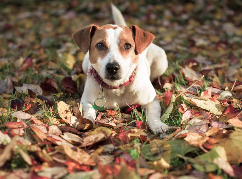 Pies rasy duńsko-szwedzki pies wiejski leżący wśród liści, a także charakter, wymagania, usposobienie oraz opis