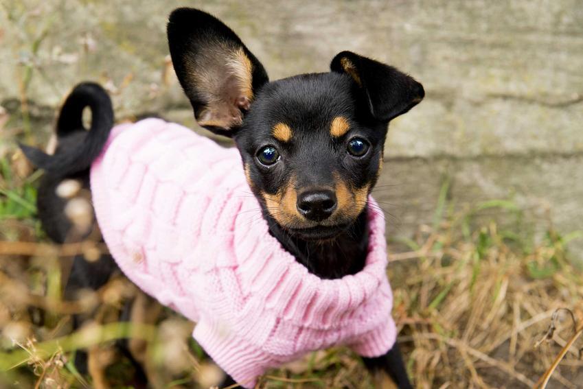 Mały pies ubrany w różowy sweterek, a także ubranka dla małych psiaków, rodzaje, wzory, ceny, producenci i polecane materiały oraz modele
