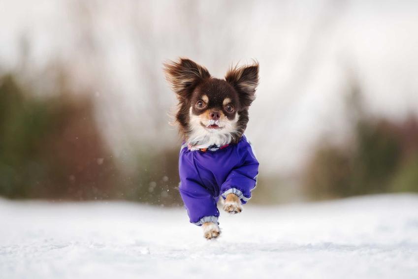 Mały pies biegnący po śniegu w niebieskim ubranku, a także rodzaje, wzory, ceny oraz zastosowanie ubranek dla małych psów krok po kroku