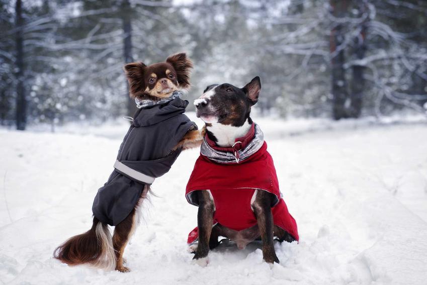 Dwa małe pieski ubrane w zimowe ubranka dla psów, a także porady i informacje, jakie ciuchy dla psa sprawdzają się najlepiej