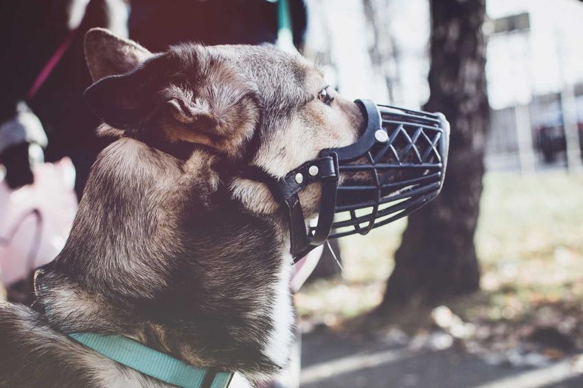 Duży pies owczarek ubrany w kaganiec dla psów Baskerville, a także budowa, cena, opinie oraz działanie kagańca