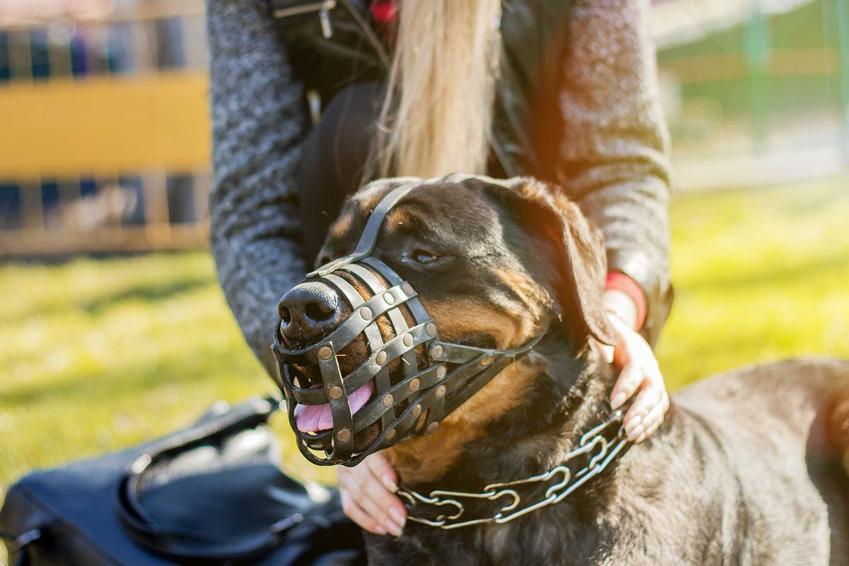 Duży pies na spacerze w kagańcu Baskerville, a także opinie o kagańcu, budowa, działanie oraz cena