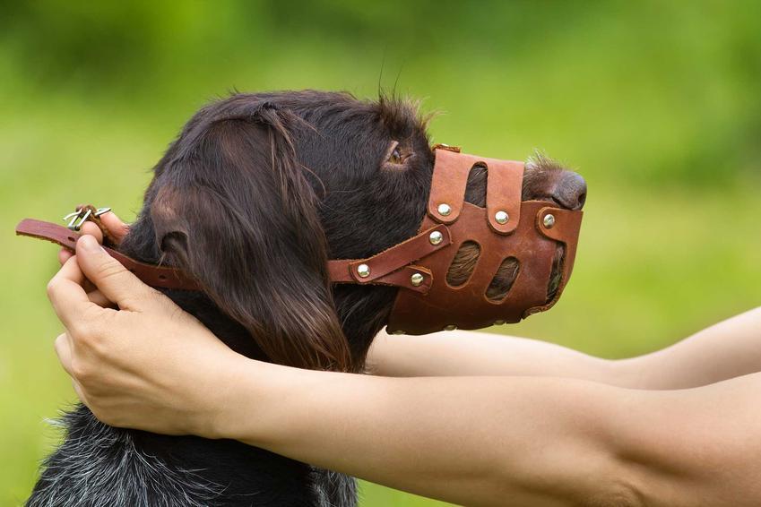 Czarny pies ubierany w kaganiec fizjologiczny, a także cena, zastosowanie, opinie oraz porady dla właścicieli psów