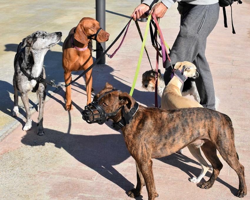 Pies ubrany w kaganiec fizjolgiczny na lince treningowej do spacerów, a także informacje o kagańcach fizjologicznych dla psów