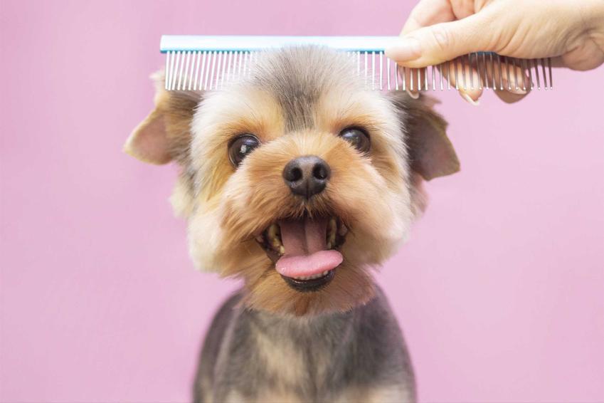 York czesany po zastosowaniu suchego szamponu, a także rodzaje, skuteczność i ceny suchego szamponu dla psa