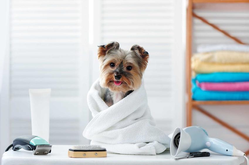 York siedzący w dużym białym ręczniku kąpielowym, a także informacje o szamponie dla yorka, producenci, ceny oraz opinie o różnych szamponach