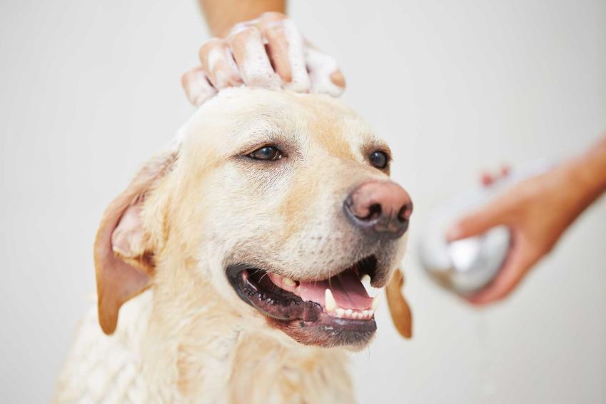 Duży pies lablador myty szamponem dla psów Hexoderm, a także opis szamponu, cena oraz zastosowanie