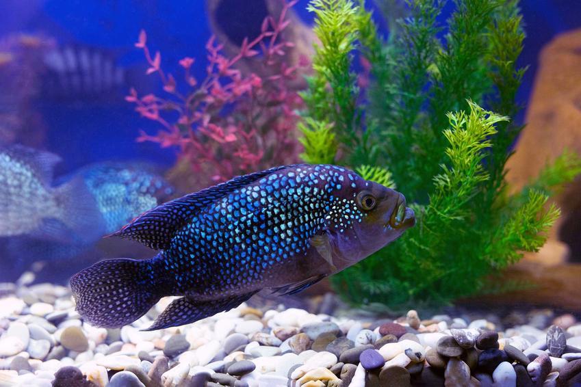 Pielęgnica niebieskołuska w akwarium, a także informacje o innych rybach: salvini, czerwieniak kongijski oraz pielęgnica wielobarwna