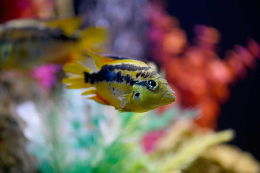 Ryba Salvini o żółto-niebieskich łuskach w akwarium, a także informacje o rybach czerwieniakach kongijskich, pielęgnicy szkarłatnej oraz opis, usposobienie i zdjęcia