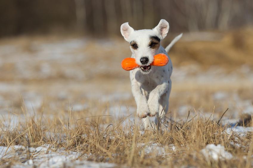 Pies niosący zabawkę w pysku, czyli sposoby, jak nauczyć psa sztuczek i aportować