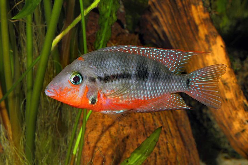 Pielęgnica Meeka w akwarium na tle kawałków drewna, a także wymagania ryby, opis wyglądu i usposobienie, choroby oraz porady