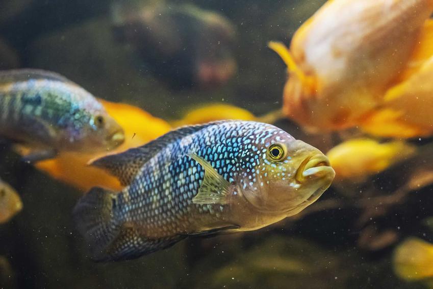 Pielęgnica niebieskołuska w akwarium z innymi rybami, a także występowanie, opis, porady, warunki hodowli oraz porady dla akwarystów