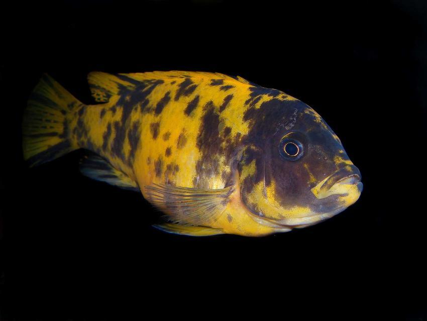 Pielegnica Severa o żółtych łuskach na czarnym tle pływająca w ciemnym akwarium, a także usposobienie ryby, a także opinie akwarystów oraz charakterystyka