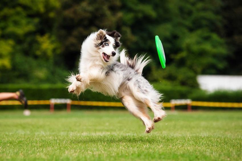 Pies łapiący frisbee na łące w parku, a także producenci, nauka łapania, ceny, modele i zastosowanie frisbee