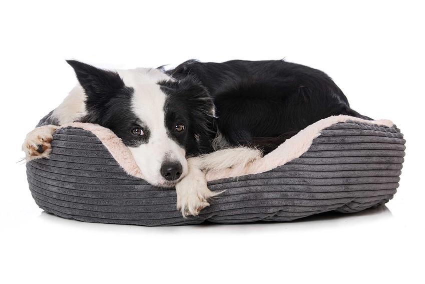 Duży pies leżący na legowisku, a także informacje o legowiskach dla psa, producenci, modele, opinie, ceny i wielkości