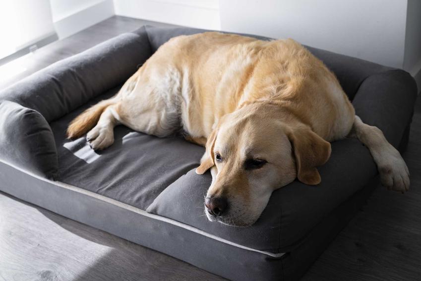 Lablador leżący na legowisku, a także duże legowiska dla psów, producenci, modele i ceny